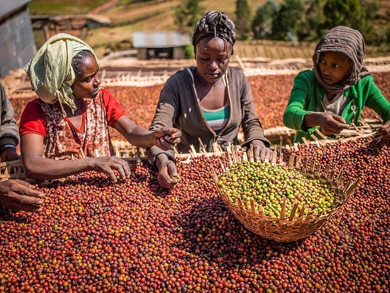 Äthiopierinnen sortieren Kaffeebohnen (Foto: Niels van Iperen, CC BY-SA 4.0)
